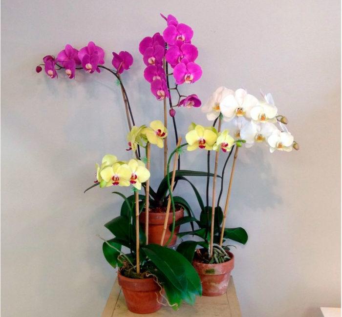 Орхидеи фаленопсис в горшке
